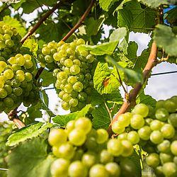 Trauben für Chardonnay Wein