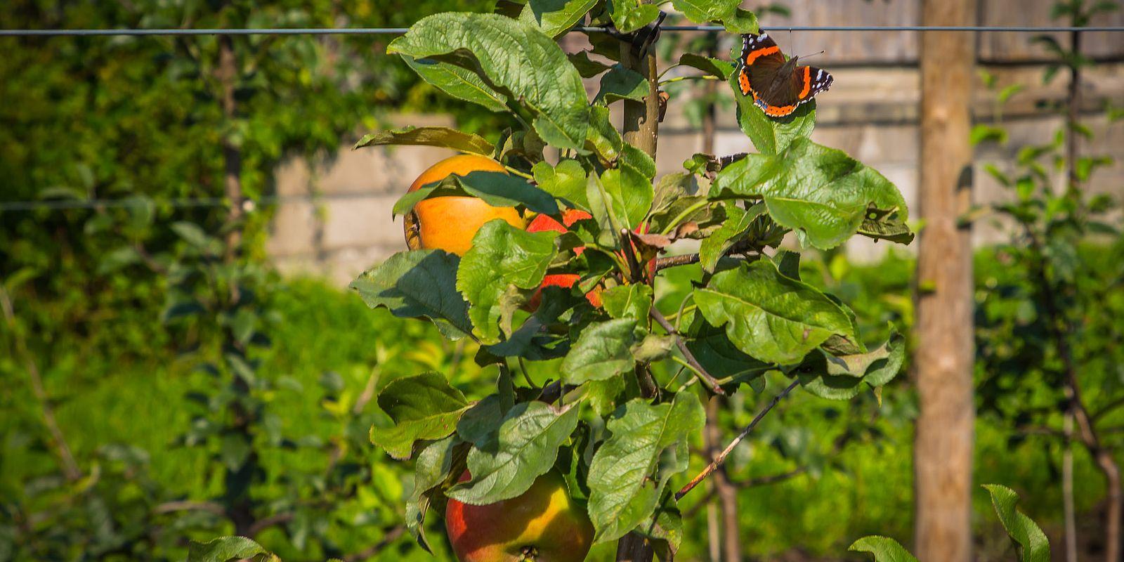 Apfelstrauch mit Schmetterling