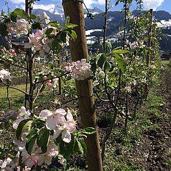 Blüten des Obsts nah