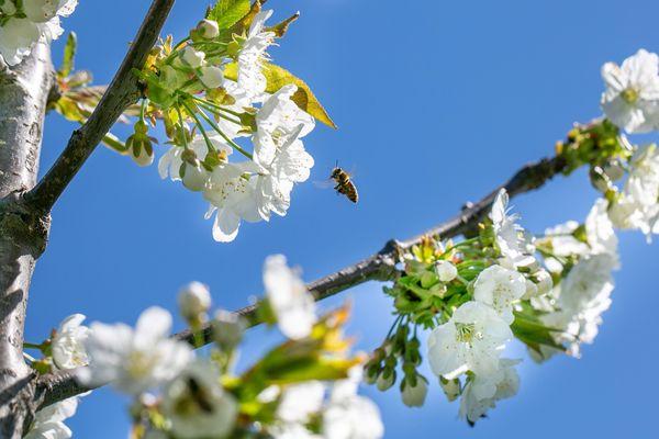 Obstbaum mit Apfelblüte und Biene vor blauem Himmel