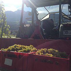 Traktor bei der Ernte von Wein