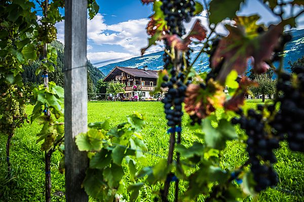Weinrebe mit Hintergrund Gielerhof