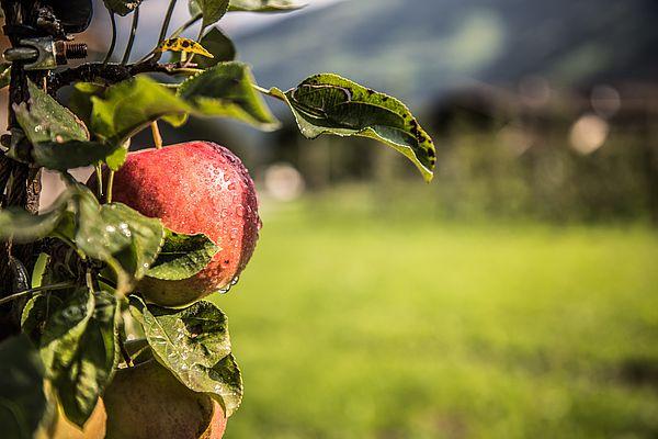 Apfel nass auf Ast