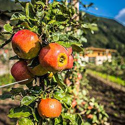 reife Äpfel am Ast